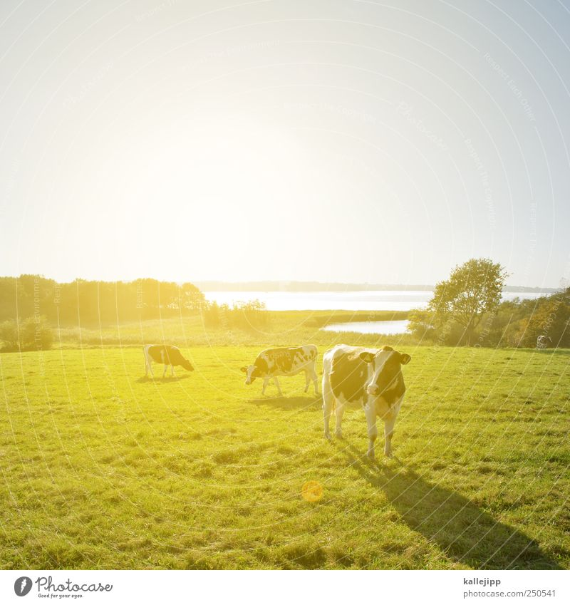 Cows are standing on my runway. Economy Agriculture Forestry Environment Nature Landscape Plant Animal Cloudless sky Horizon Sunrise Sunset Sunlight Summer