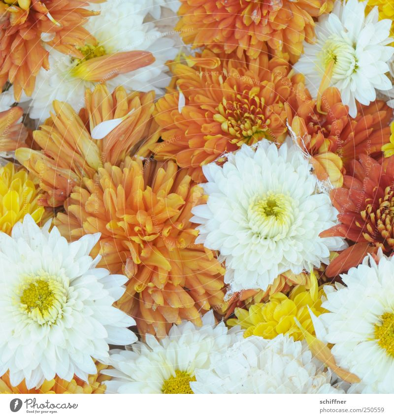 group snuggling Plant Flower Blossom Fragrance Friendliness Positive Multicoloured Yellow White Many Narrow Orange Blossom leave Chrysanthemum sea of flowers