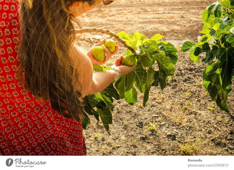 Young woman picking figs from the tree at sunset. Woman Human being Nature Youth (Young adults) Summer Green Tree 18 - 30 years Adults Lifestyle Natural Garden