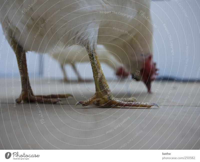 Animal Art Whimsical Collection Barn fowl Farm animal