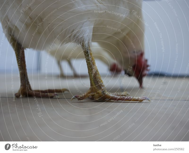 BirdPerspective Animal Farm animal Barn fowl Collection Art Whimsical Colour photo Interior shot Copy Space bottom Shallow depth of field Long shot