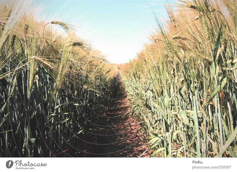Aisle in the field Agriculture Forestry Environment Nature Landscape Plant Earth Sky Cloudless sky Sunlight Summer Beautiful weather Grass Leaf