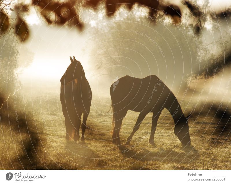 Horses in the fog Environment Nature Landscape Plant Animal Fog Grass Bushes Meadow 2 Pair of animals Bright Natural Colour photo Subdued colour Exterior shot