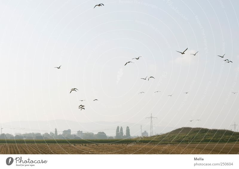 collection point Environment Landscape Field Animal Bird Goose Group of animals Flock Flying Free Natural Together Freedom Nature Far-off places Migratory bird