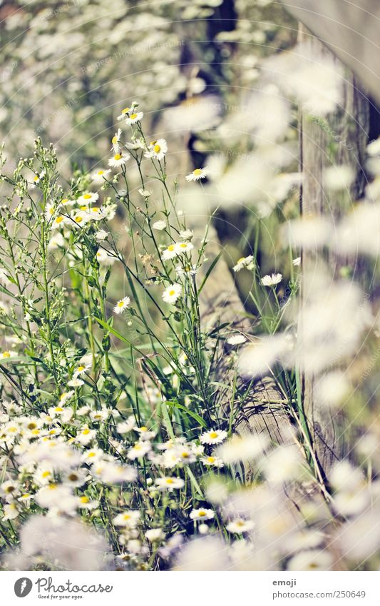 flowering Nature Beautiful weather Plant Flower Bushes Foliage plant Garden Park Meadow Natural Green Blossoming Marguerite Bright Colour photo Exterior shot