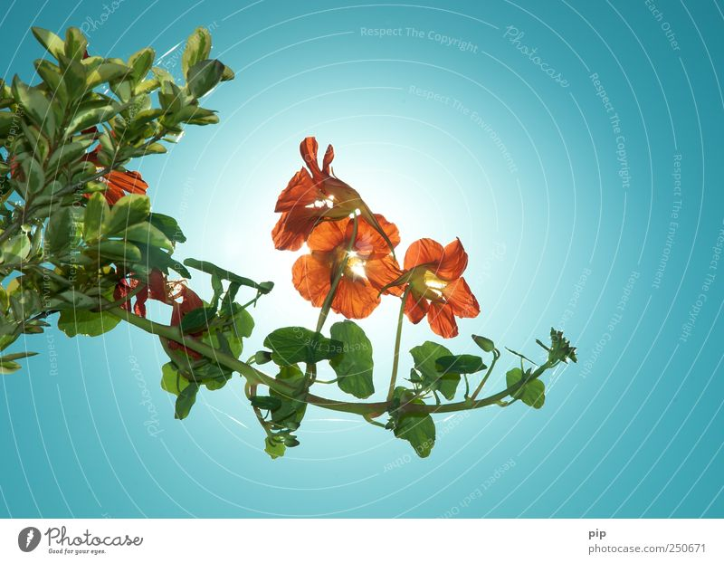 tropaeolum Plant Sky Cloudless sky Flower Leaf Blossom Nasturtium Creeper Illuminate Bright Red Orange Edible Tendril Colour photo Multicoloured Exterior shot
