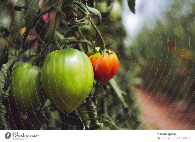 Organic tomatoes in a greenhouse Vegetable Organic produce Vegetarian diet Diet Slow food Sustainability organic harvest agriculture bloom breed breeding