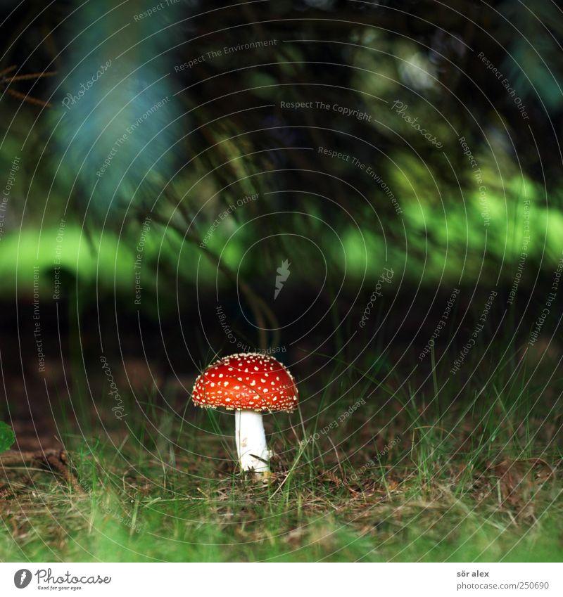 gods mushroom Nutrition Nature Plant Grass Mushroom Mushroom cap Amanita mushroom Forest Blossoming Growth Esthetic Threat Exotic Sustainability Round Beautiful