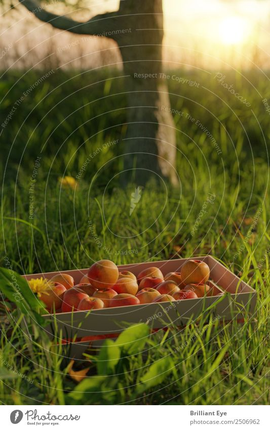 Nature Summer Tree Red Lifestyle Healthy Meadow Grass Garden Fruit Fresh To enjoy Simple Agriculture Harvest Apple
