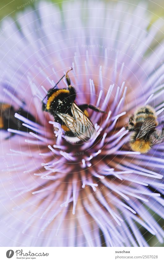 humming bustle Bumble bee Insect furry Wing Flower Blossom Nectar Violet Nature Exterior shot Summer Sprinkle Garden Warmth Close-up