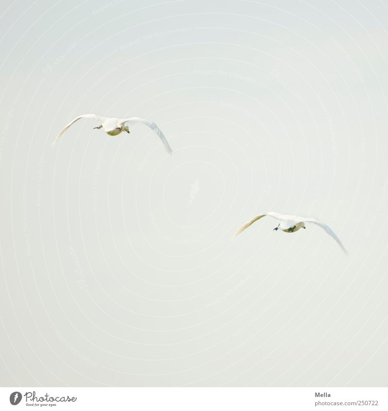 Nature Animal Freedom Environment Movement Air Bird Together Pair of animals Flying Esthetic Natural Swan Loyalty Agreed