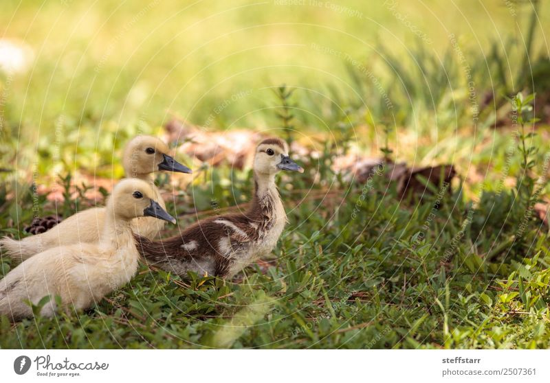Yellow Baby Muscovy ducklings Cairina moschata Summer Mother Adults Family & Relations Nature Animal Grass Pond Farm animal Wild animal Bird Animal face 3 Flock