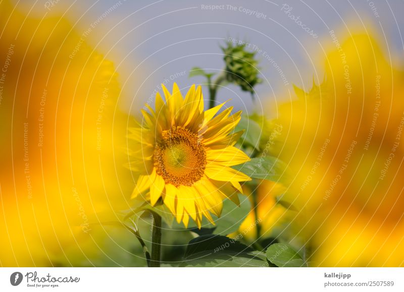 sunflowers Environment Nature Landscape Plant Animal Leaf Blossom Agricultural crop Field Blossoming Sunflower Sunflower field Bud Yellow Summer Summer vacation