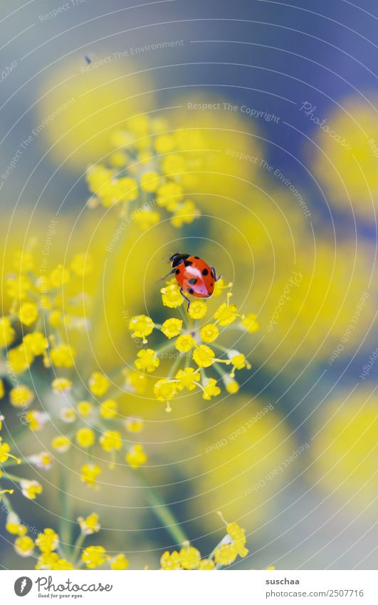 who likes a suschaa lucky beetle? Flower Blossom Nature Exterior shot Plant herbaceous Dill Beautiful Insect Beetle Good luck charm Ladybird Yellow