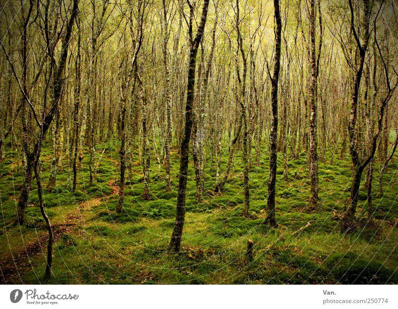 Irish forest Harmonious Calm Vacation & Travel Environment Nature Earth Tree Grass Moss Birch tree Forest Ireland Lanes & trails Wood Illuminate Growth