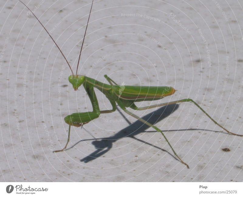 Smile, please! Praying mantis Italy Macro (Extreme close-up)