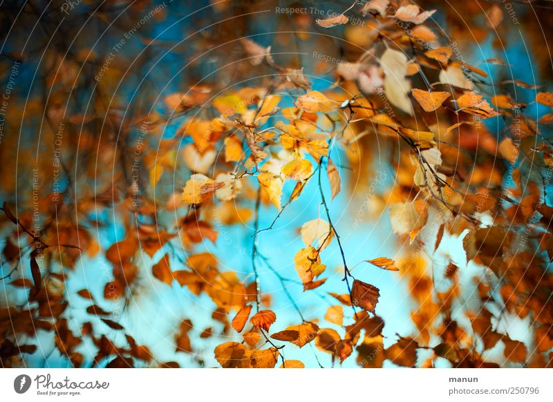 Nature Beautiful Tree Leaf Autumn Natural Authentic Exceptional Transience Fantastic Autumn leaves Autumnal Birch tree Autumnal colours Early fall Birch leaves