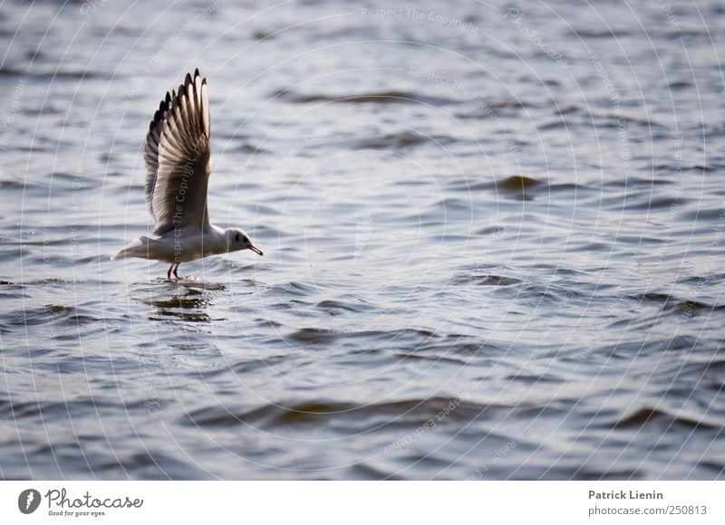 On your mark, Environment Nature Animal Water Waves Coast River bank Wild animal Bird Wing 1 Beautiful Flying Feed Observe Elegant Easy Seagull Elbe