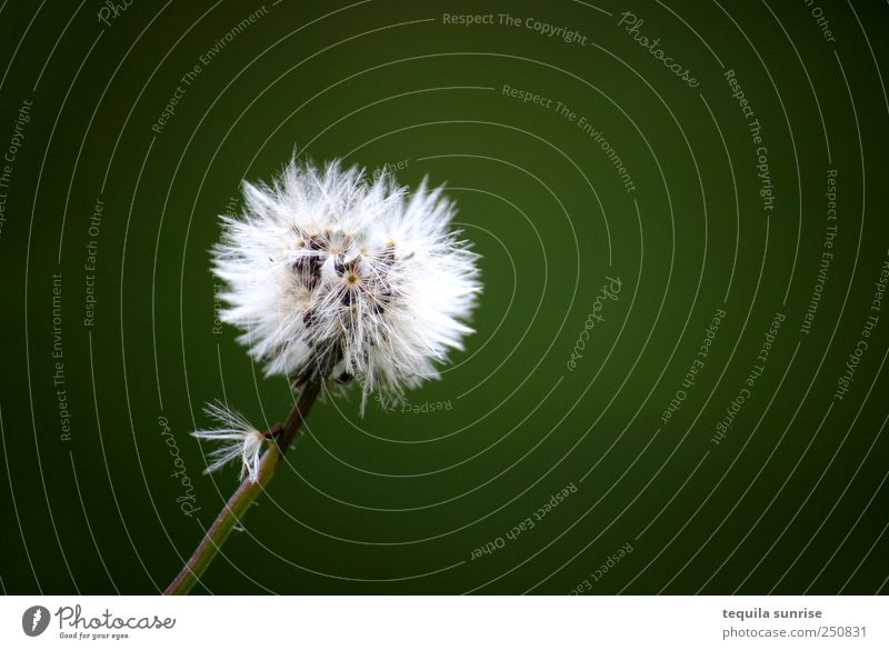 autumn flower Environment Nature Plant Flower Grass Blossom Foliage plant Wild plant Dandelion Garden Park Meadow Green White Colour photo Exterior shot Detail