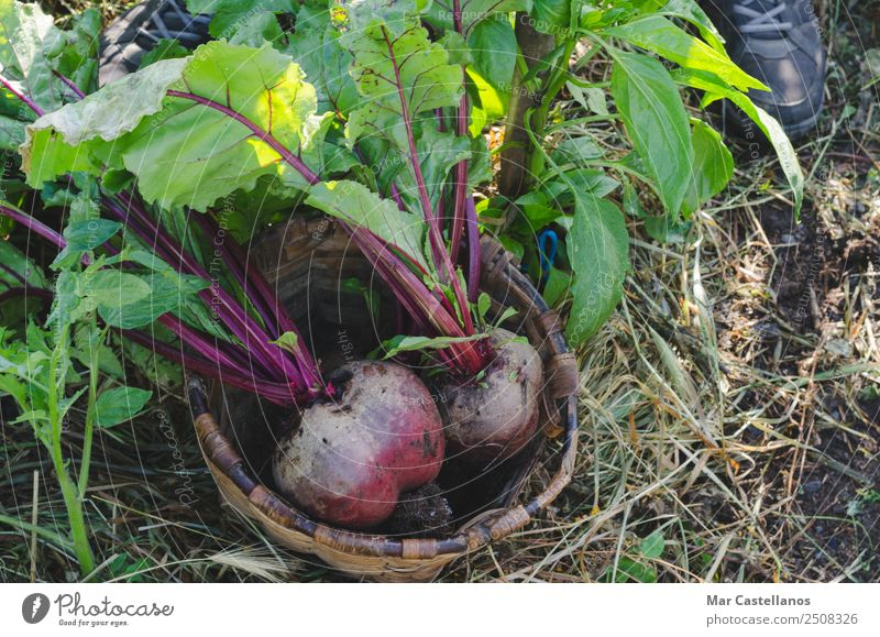 Two red beets in a basket in the orchard. Vegetable Nutrition Vegetarian diet Diet Summer Garden Agriculture Forestry Industry Nature Plant Earth Leaf