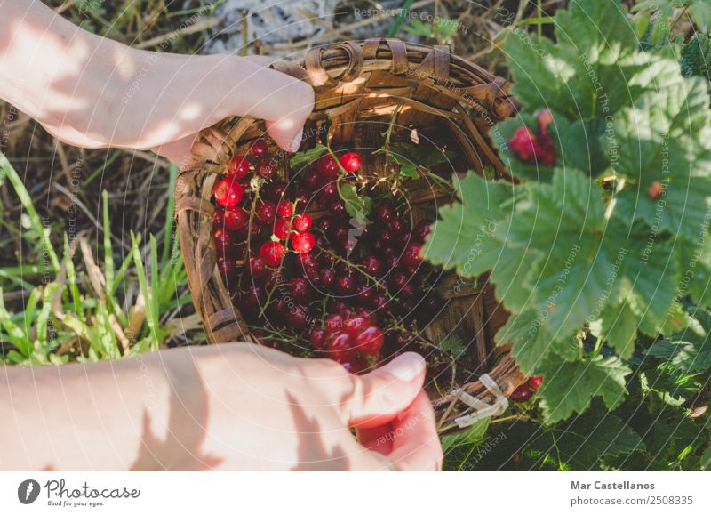 Woman's hands picking red currants in a basket. Fruit Dessert Nutrition Juice Garden Work and employment Gardening Agriculture Forestry Adults Hand 1