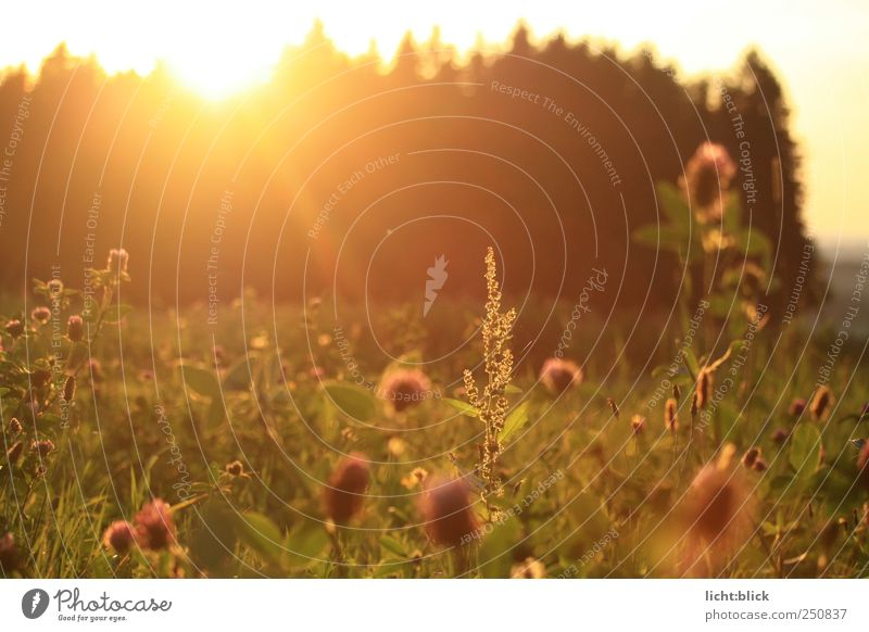 sunstained Nature Landscape Plant Sunrise Sunset Sunlight Summer Grass Foliage plant Wild plant Clover Clover blossom Meadow Field Forest Moody Warm-heartedness