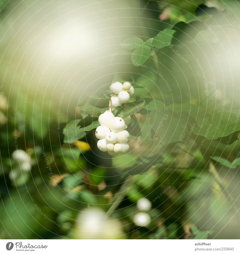 Nature Green White Plant Leaf Bushes Beautiful weather Berries Foliage plant Albino Berry bushes Berry seed head