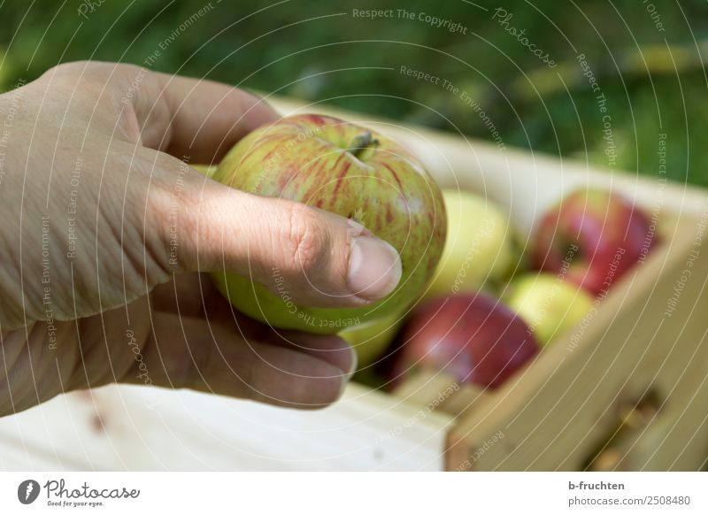 Fresh apple Fruit Organic produce Vegetarian diet Healthy Eating Agriculture Forestry Hand Fingers Summer Autumn Garden Meadow Box Work and employment