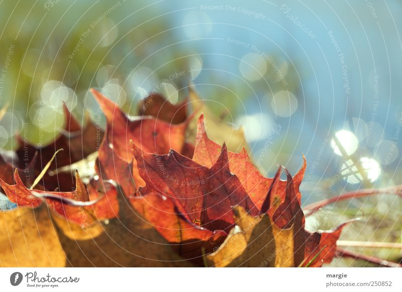 Autumn glitter: colourful autumn leaves in the sun Environment Nature Beautiful weather Plant Grass Leaf Foliage plant Autumnal colours Autumn leaves Early fall