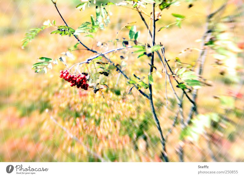 Rowanberries in September Rawanberry Berries Yellow Berry bushes Indian Summer Indian summer late summer sunny Birdseed wild plants Red motion blur