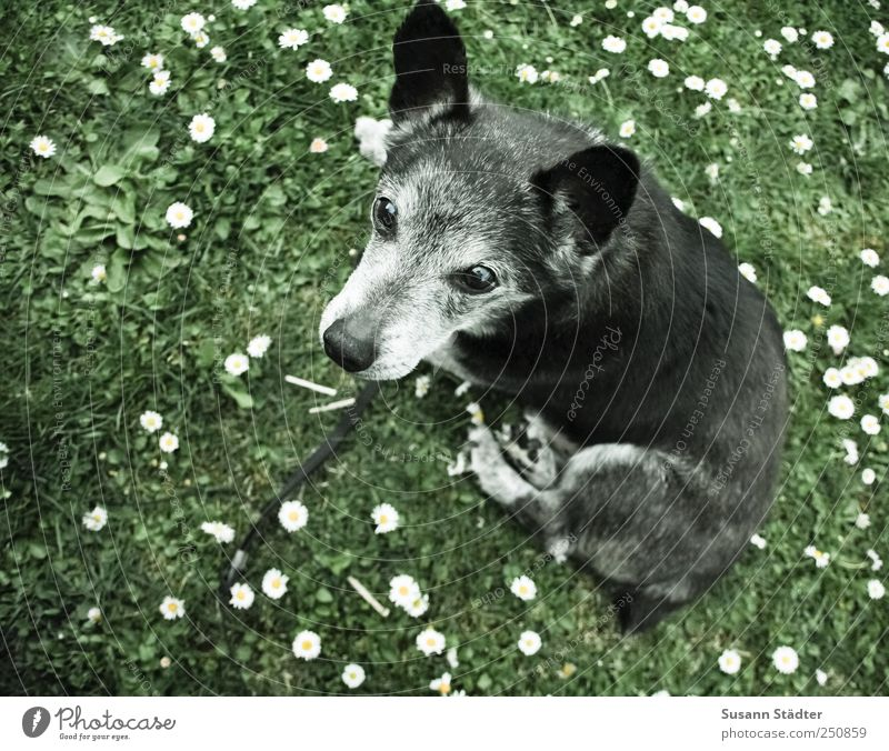 German shepherd dog Nature Garden Meadow Animal Pet Dog Paw 1 Looking Dream Daisy Wait Sit Loyalty Near Gray Watchfulness Subdued colour Exterior shot Close-up