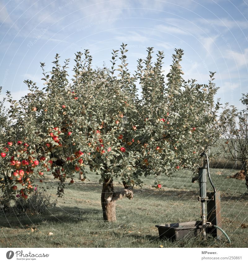 apple Food Fruit Apple Nutrition Juicy Sour Sweet Blue Green Appetite Apple tree Pump Tap Fruit trees Vitamin-rich Plantation Organic produce Delicious Red Leaf