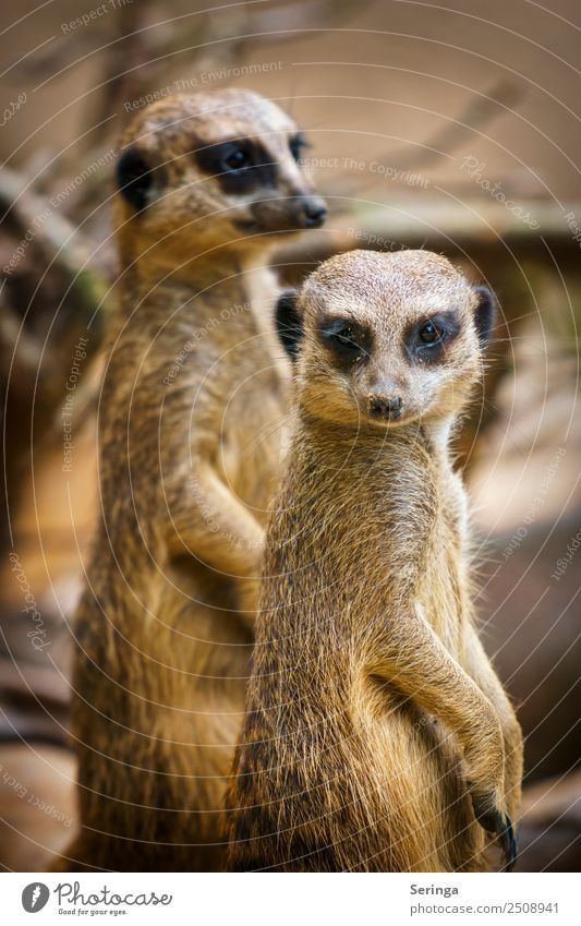twosome Animal Wild animal Animal face Claw Paw Zoo 2 Group of animals Pair of animals To feed Looking Meerkat Colour photo Subdued colour Multicoloured