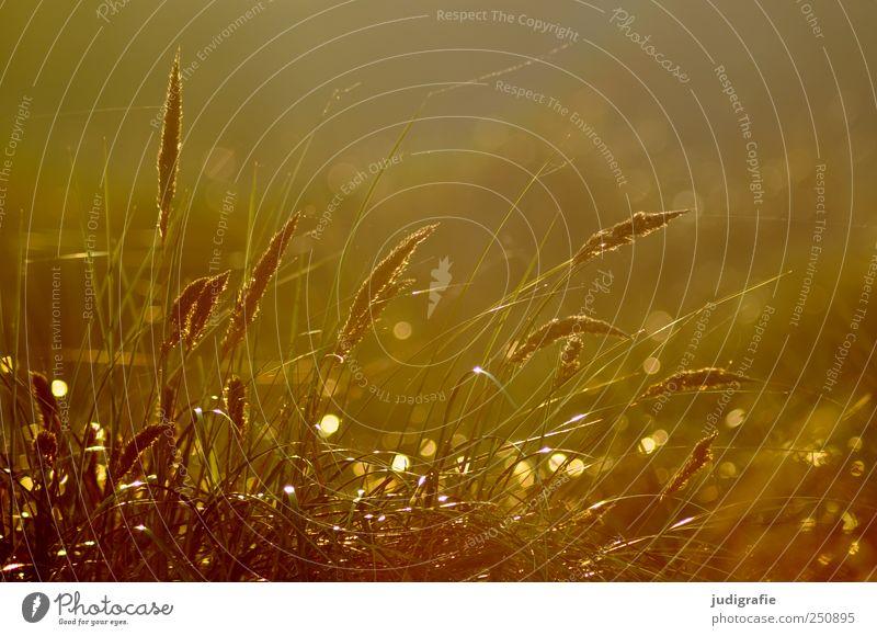 Nature Beautiful Plant Environment Grass Moody Natural Growth Illuminate Beach dune Baltic Sea Marram grass