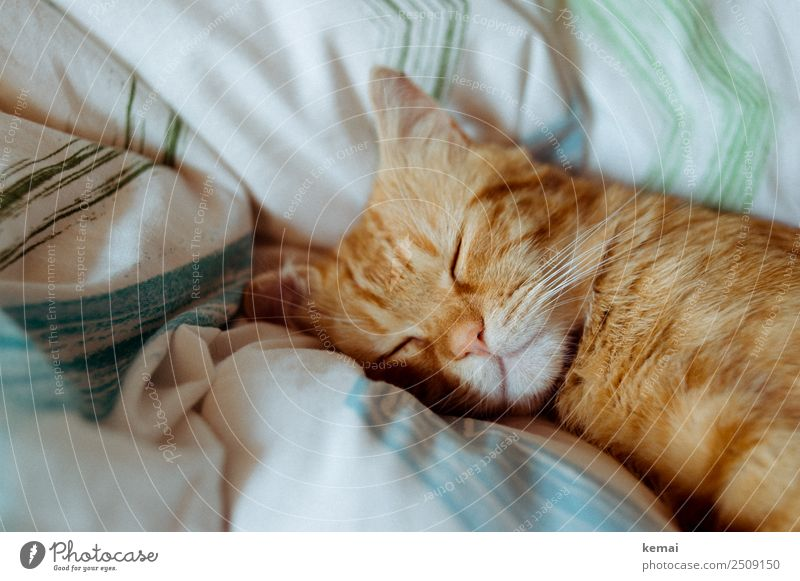 sleeping posture Lifestyle Harmonious Well-being Contentment Senses Relaxation Calm Leisure and hobbies Living or residing Bed Duvet Animal Pet Cat Animal face