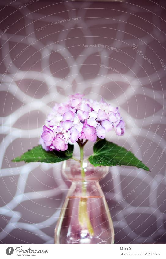 hydrangea Flower Leaf Blossom Violet Hydrangea Flower vase Vase Glass Pink Brilliant Colour photo Multicoloured Close-up Pattern Deserted Light