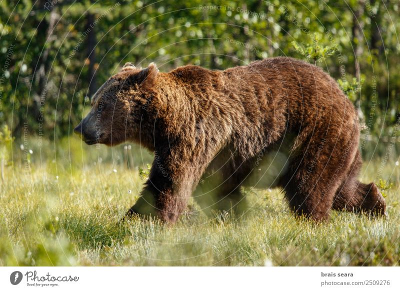 Brown Bear Science & Research Biology Hunter Environment Nature Animal Earth Field Wild animal Brown bear 1 Love of animals Serene oso pardo Grizzly wildlife