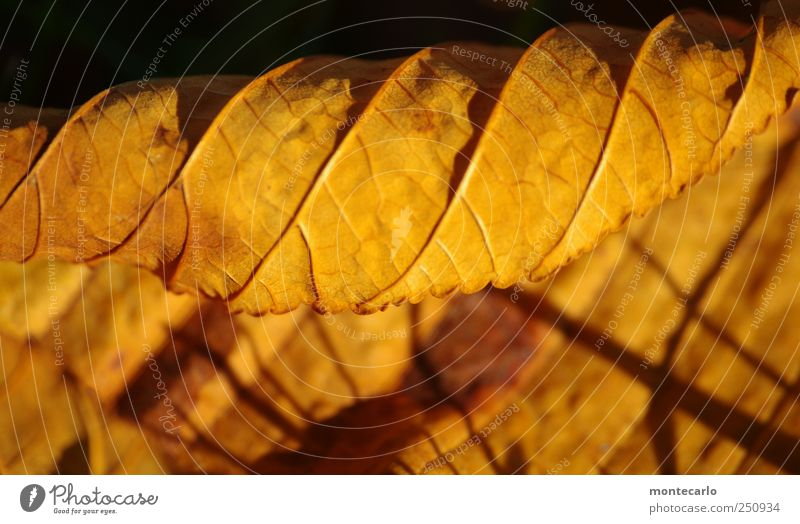 gold leaf Environment Nature Plant Sunrise Sunset Autumn Beautiful weather Leaf Agricultural crop Garden Park Old Dry Yellow Black Colour photo Multicoloured