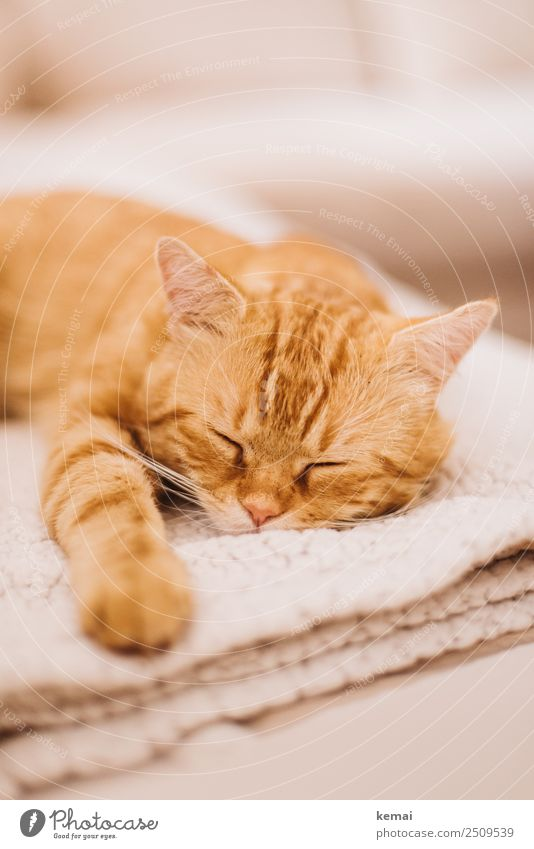 Cat Relaxation Animal Calm Lifestyle Natural Orange Living or residing Flat (apartment) Contentment Leisure and hobbies Lie Authentic Joie de vivre (Vitality)