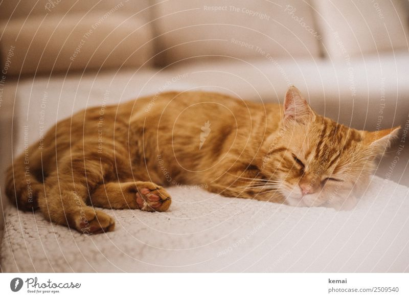 Sleeping Beauty Lifestyle Harmonious Well-being Contentment Senses Relaxation Calm Leisure and hobbies Living or residing Flat (apartment) Sofa Animal Pet Cat 1
