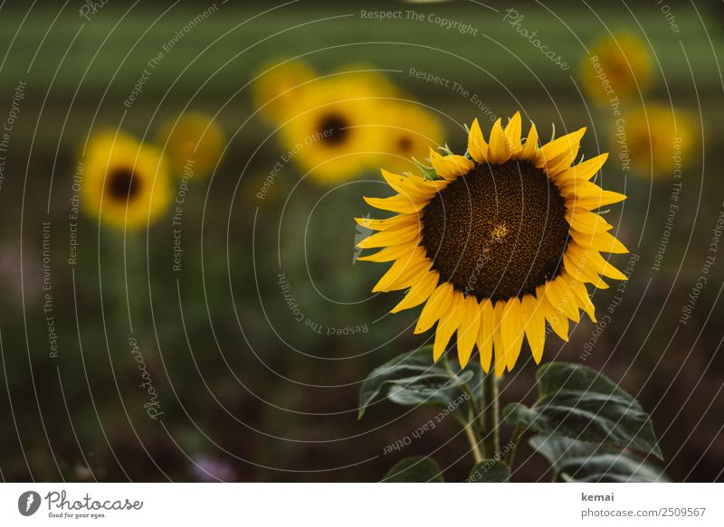 Sunflowers everywhere Life Harmonious Well-being Contentment Senses Relaxation Calm Leisure and hobbies Nature Plant Summer Beautiful weather Flower