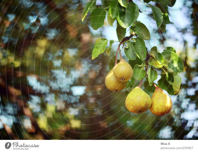 Nature Green Tree Summer Leaf Animal Yellow Nutrition Food Fruit Sweet Butterfly Delicious Pear Flock Sour