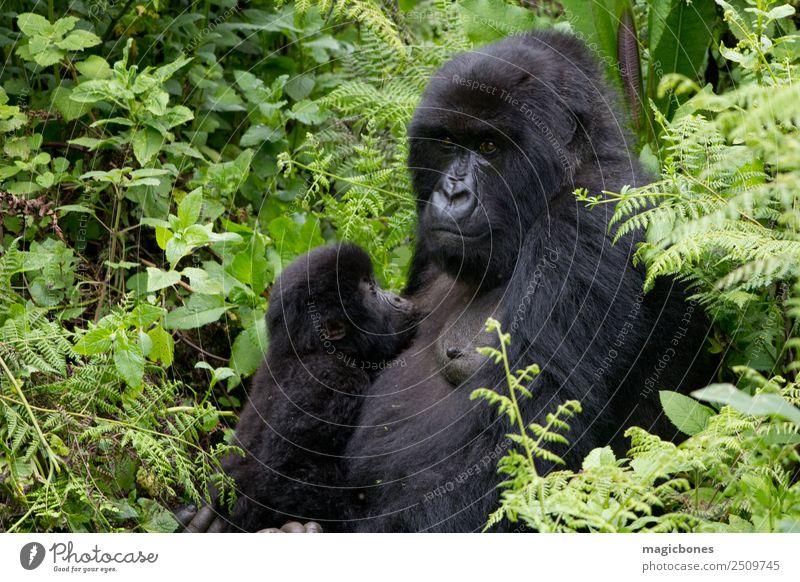 Mother and baby gorilla in the Virunga National Park, Rwanda Nature Vacation & Travel Animal Mountain Natural Wild Baby Africa Mammal Virgin forest Feeding