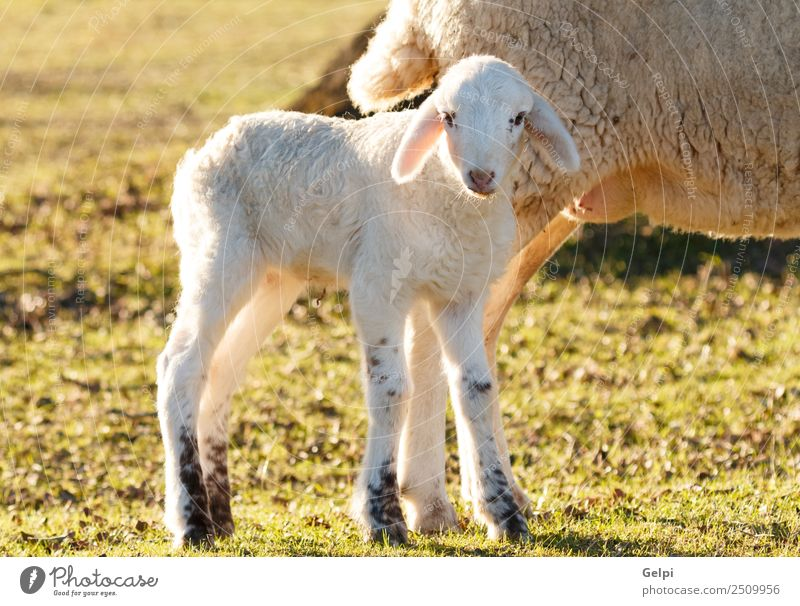 Beautiful lamb next to its mother Summer Mother Adults Family & Relations Environment Nature Landscape Animal Grass Meadow Hill Fur coat Herd To feed Natural