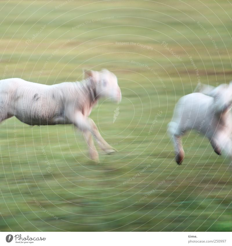 Animal Meadow Baby animal Walking Running Adventure Running sports Hind quarters Pasture Racing sports Hunting Sheep Joie de vivre (Vitality) Ease Farm animal