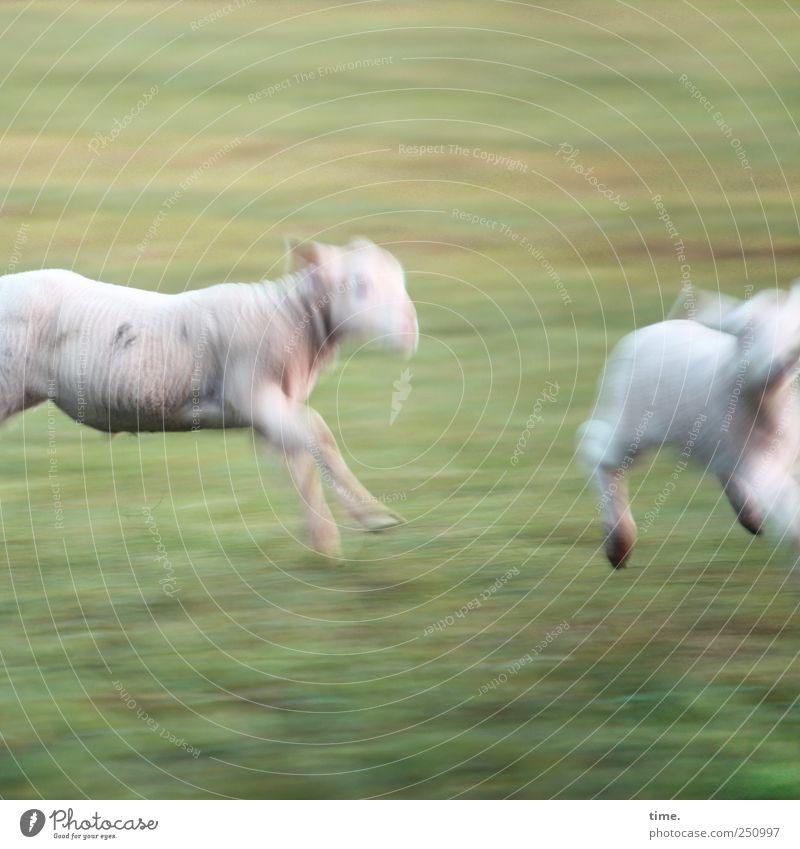 Sports photography (basic course) | ChamanSülz Meadow Animal Farm animal Sheep Lamb 2 Baby animal Running Hunting Walking Adventure Joie de vivre (Vitality)