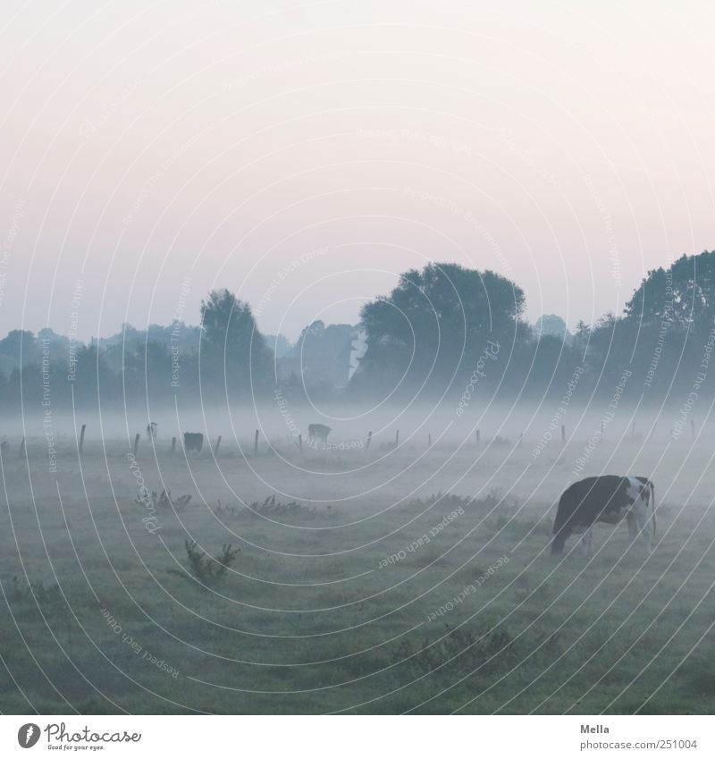 early Environment Landscape Climate Fog Meadow Pasture Farm animal Cow To feed Calm Agriculture Rural Morning Fog bank Colour photo Exterior shot Deserted