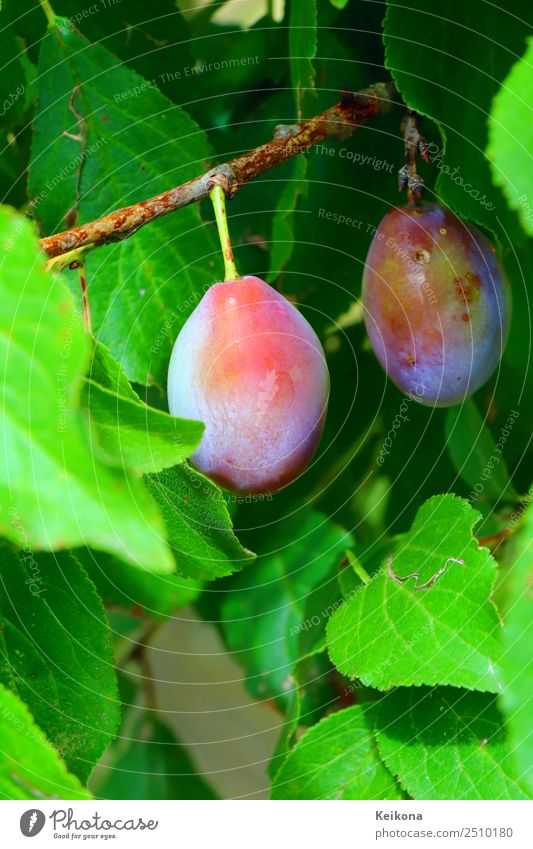 Purple plums on a branch. Fruit Nutrition Organic produce Vegetarian diet Diet Summer Summer vacation Eating Environment Nature Bushes Agricultural crop Village