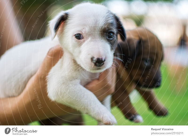 Puppies of dog, white and brown. Hand Nature Grass Park Animal Dog 2 Pair of animals Baby animal Looking Healthy Cuddly Brown Green White Love of animals