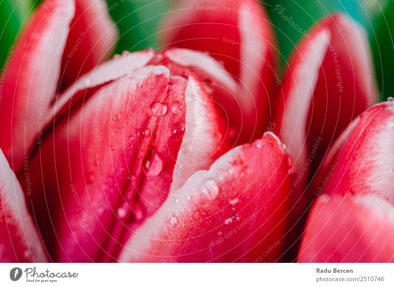 Beautiful Wet Red Tulip Flowers Nature Summer Plant Colour Green White Leaf Love Spring Blossom Natural Emotions Happy